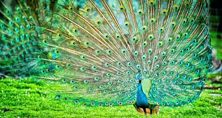 Peafowl,Bird,Feather,Galliformes,Green,Phasianidae,Beak,Grass,Tail,Organism