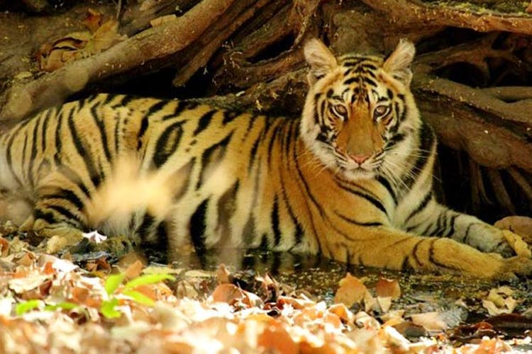 image - Tiger, Tiger Burning Bright: Where To Spot The Stripes Around The Country