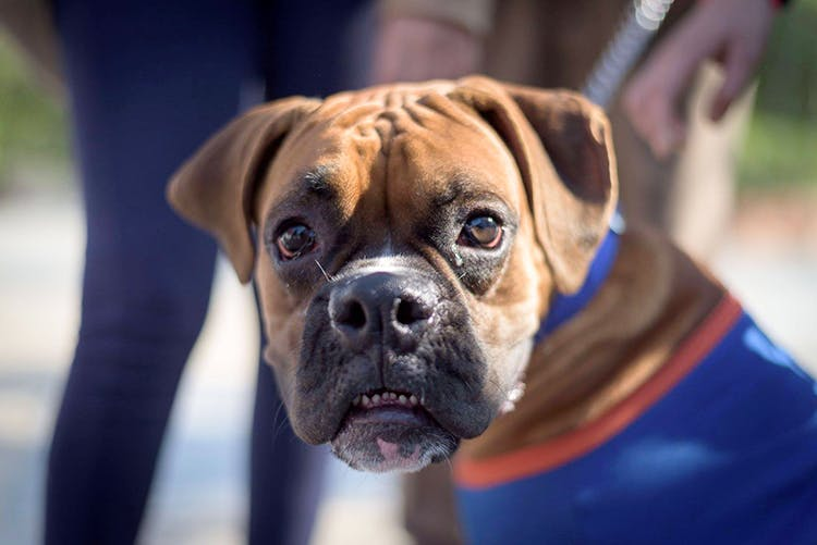 Dog,Mammal,Vertebrate,Dog breed,Canidae,Snout,Boxer,Carnivore,Fawn,Bullmastiff