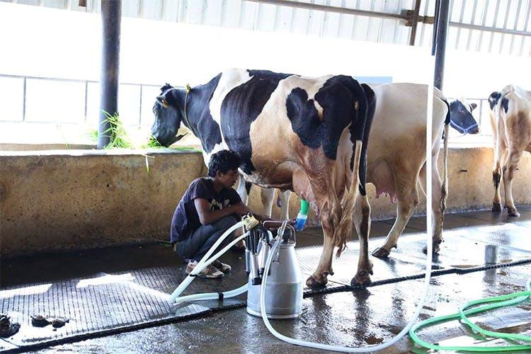 Dairy cow,Bovine,Dairy,Cow-goat family,Livestock,Horse