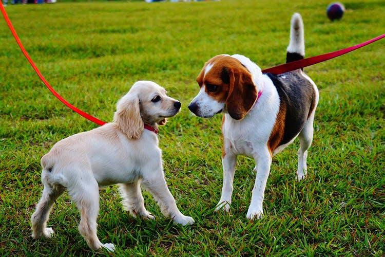 Dog,Mammal,Vertebrate,Canidae,Dog breed,Carnivore,Braque saint-germain,Beagle,Sporting Group,Companion dog