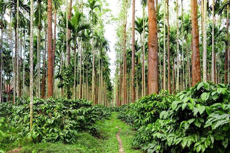 image - Get The Bean To Cup Coffee Experience With Plantation Tours In Coorg