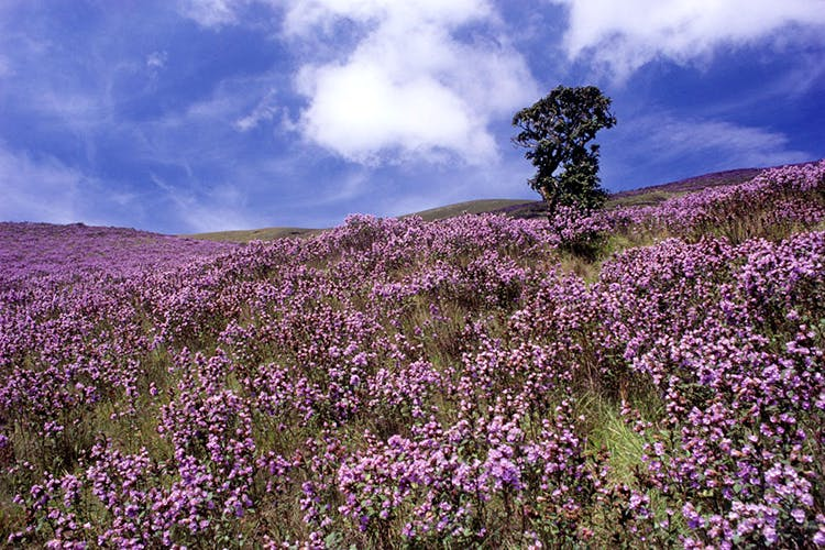 Lavender,Flower,Plant,Sky,Purple,Flowering plant,Wildflower,English lavender,Spring,Lavender